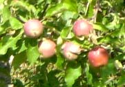 BHOWALI :- Bhowali is famous for its beautiful fruit market which offers to the tourists, rich variety of fruits